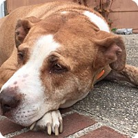 Pit Bull Terrier/Terrier (Unknown Type, Medium) Mix Dog for adoption in Franklinville, New Jersey - Raven