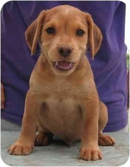 Golden Retriever/Beagle Mix Puppy for adoption in Jersey City, New Jersey - Boots