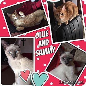 Siamese Kitten for adoption in Keller, Texas - Ollie