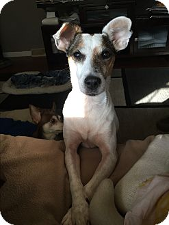Jack Russell Terrier Dog for adoption in Brunswick, Ohio - Princess