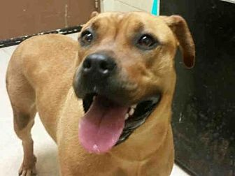Pit Bull Terrier Mix Dog for adoption in Rogers, Arkansas - PIPER