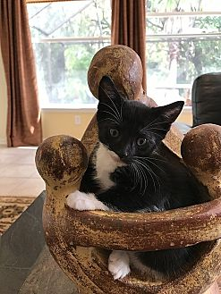 Domestic Shorthair Kitten for adoption in Tampa, Florida - Charlotte