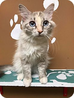 Domestic Mediumhair Cat for adoption in Maryville, Missouri - Ventress