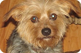 Yorkie, Yorkshire Terrier Mix Dog for adoption in Rocky Mount, North Carolina - Zoey