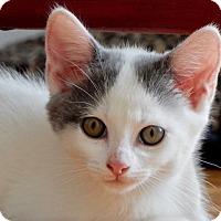 Adopt A Pet :: Marshmallow - Greenburgh, NY