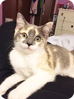Domestic Shorthair Cat for adoption in Xenia, Ohio - Emily
