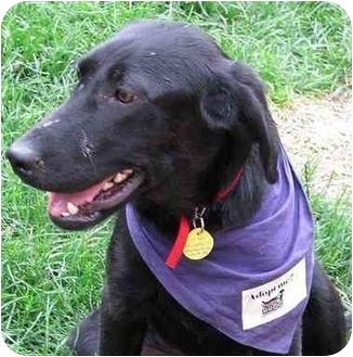Labrador Retriever Mix Puppy for adoption in Evergreen, Colorado - Brinkley