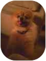 Pomeranian Dog for adoption in Haughton, Louisiana - George