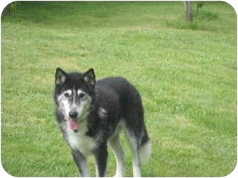 Husky Dog for adoption in Salem, Oregon - Scotty