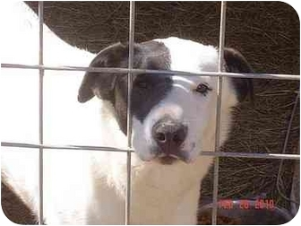Border Collie/Pointer Mix Dog for adoption in Fairfield, Texas - RCA