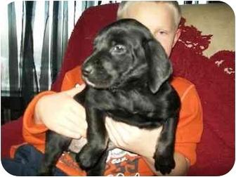 Boston Terrier/Dachshund Mix Puppy for adoption in Flint, Michigan - Merri