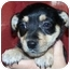 Photo 3 - Cairn Terrier/Terrier (Unknown Type, Small) Mix Puppy for adoption in Broomfield, Colorado - Buster