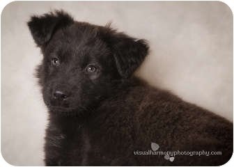 Labrador Retriever/Border Collie Mix Puppy for adoption in Phoenix, Arizona - Bernard