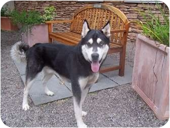 Husky Mix Dog for adoption in Rochester/Buffalo, New York - Winter