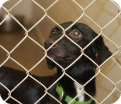 Labrador Retriever/Dachshund Mix Dog for adoption in Haughton, Louisiana - BCAC Sweetie Pie