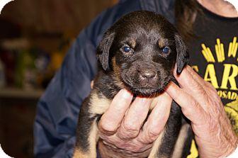 Catahoula Leopard Dog Mix Puppy for adoption in Conway, Arkansas - Sasha aka Stella 3