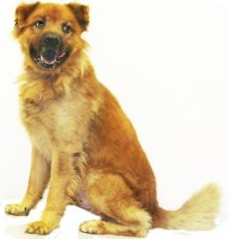 Chow Chow Mix Dog for adoption in Inverness, Florida - Butch