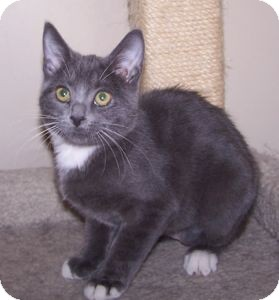 Domestic Shorthair Kitten for adoption in Colorado Springs, Colorado - K-Rescue3-Chelsea