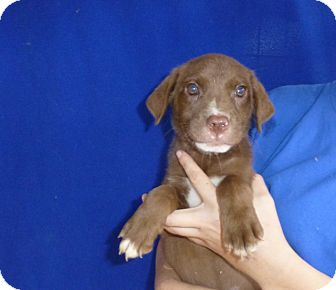 Australian Shepherd/Labrador Retriever Mix Puppy for adoption in Oviedo, Florida - Cyan