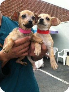 Chihuahua Mix Puppy for adoption in Los Angeles, California - MERYL STREEP