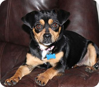 Dachshund/Chihuahua Mix Dog for adoption in Salem, New Hampshire - MISS TILLY TEA