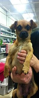Pug/Chihuahua Mix Dog for adoption in Fresno, California - Cookie