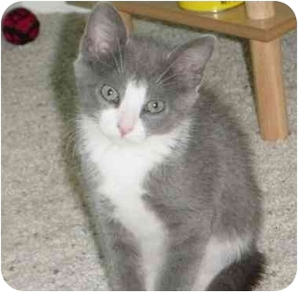 Domestic Shorthair Kitten for adoption in Laurel, Maryland - Bella