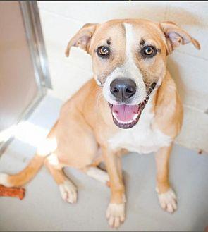 Anatolian Shepherd Mix Dog for adoption in Mineral Wells, Texas - Zen