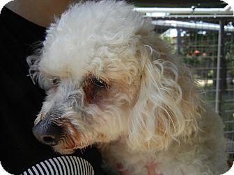 Poodle (Miniature) Mix Dog for adoption in Houston, Texas - Lana