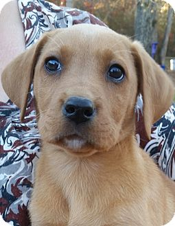 Labrador Retriever Mix Puppy for adoption in Biddeford, Maine - Gingerbread
