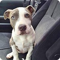 Adopt A Pet :: Willow - Reisterstown, MD