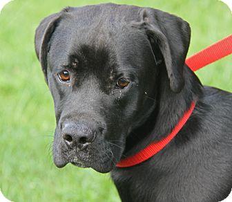Boxer/Labrador Retriever Mix Dog for adoption in Marietta, Ohio - Davy Jones (Neutered)