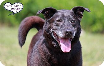 Spitz (Unknown Type, Medium)/Labrador Retriever Mix Dog for adoption in Lee's Summit, Missouri - Felix