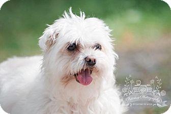 Maltese Mix Dog for adoption in King City, Ontario - Chloe