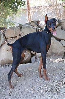 Doberman Pinscher Dog for adoption in Fillmore, California - Denahi
