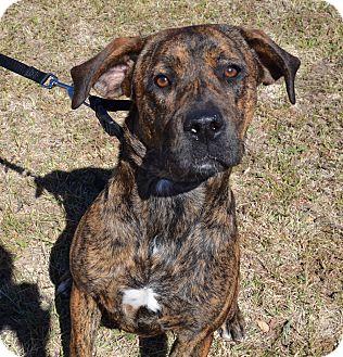 Boxer/Labrador Retriever Mix Dog for adoption in Larned, Kansas - Carly