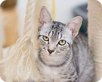 Domestic Shorthair Kitten for adoption in Fountain Hills, Arizona - Aurora
