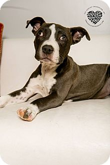Pit Bull Terrier Mix Puppy for adoption in Inglewood, California - Jasmine