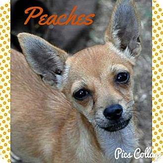 Terrier (Unknown Type, Small) Mix Dog for adoption in Lodi, California - Peaches