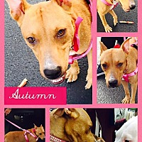 Adopt A Pet :: Autumn - Miami Shores, FL