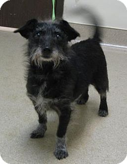 Terrier (Unknown Type, Small) Mix Dog for adoption in Gary, Indiana - Bella