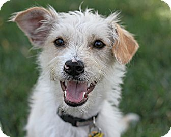 Jack Russell Terrier/Terrier (Unknown Type, Small) Mix Dog for adoption in Los Angeles, California - Dusty - Playmate wanted!
