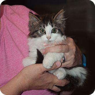 Domestic Mediumhair Kitten for adoption in New Martinsville, West Virginia - Jojo