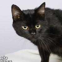 Adopt A Pet :: Victor (FIV+) - Tinley Park, IL