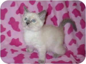 Domestic Shorthair Kitten for adoption in Steilacoom, Washington - Jasmine