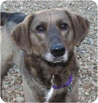 Hound (Unknown Type)/Labrador Retriever Mix Dog for adoption in Berea, Ohio - Howie