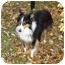 Photo 2 - Sheltie, Shetland Sheepdog/Sheltie, Shetland Sheepdog Mix Dog for adoption in Sheboygan, Wisconsin - Patches