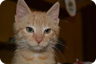Domestic Shorthair Kitten for adoption in Chattanooga, Tennessee - Brutus