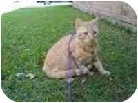 Domestic Shorthair Cat for adoption in METAIRIE, Louisiana - JACK