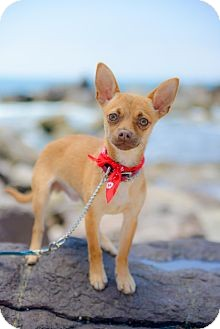 Chihuahua Puppy for adoption in Irvine, California - RILEY Pending adoption)
